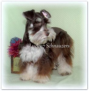 liver and tan Miniature Schnauzer