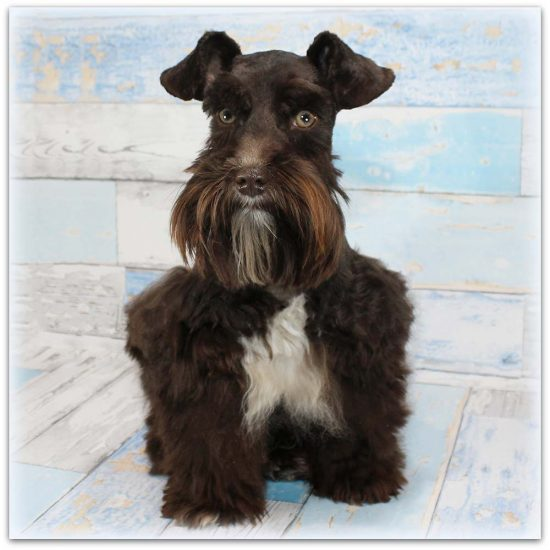 Female Miniature Schnauzer